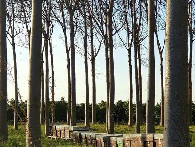 درخت پالونیا