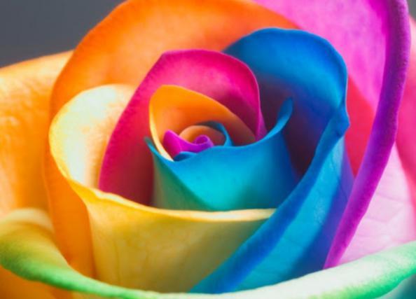 انواع گل رز