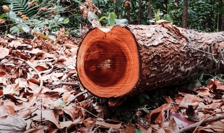 چوب ماهون