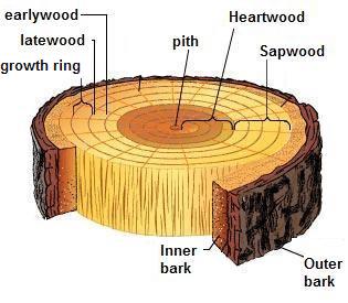 رشد چوب